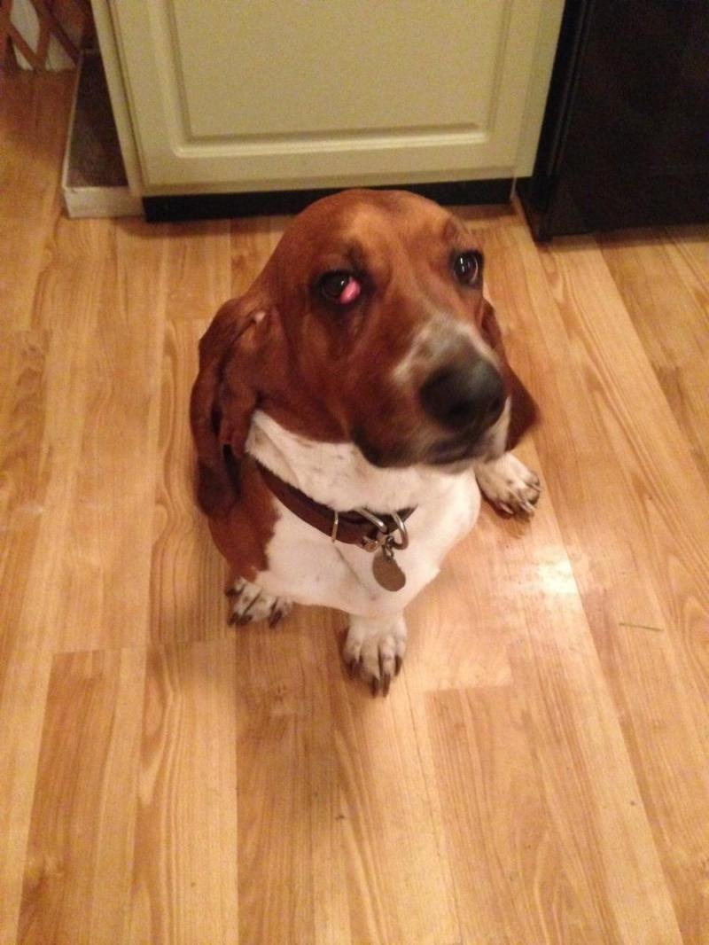 Adopt Moonshine On Hound Dog Basset Hound Dog Dog Cat