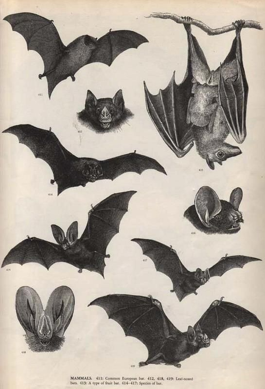 Art Provided Antique Bat Print 18th Century Engraving Buffon Wild Animal Kingdom Rare