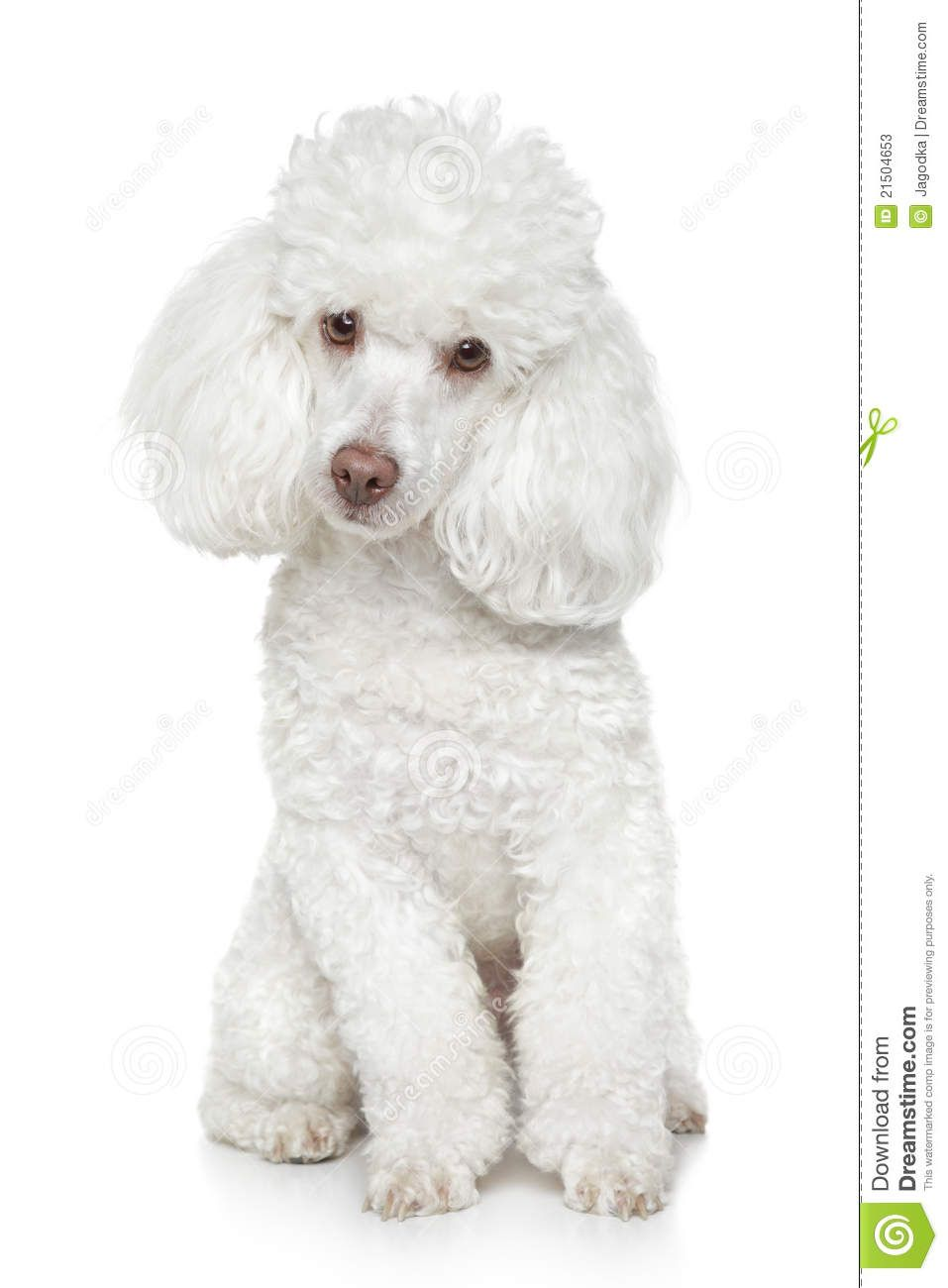 White Toy Poodle On White Background Stock Photos Image