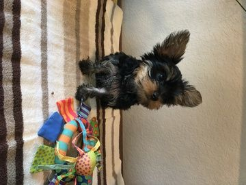 Litter Of 4 Yorkshire Terrier Puppies For Sale In Katy Tx Adn