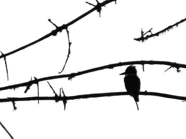 kingfisher silhouette by prairielark7
