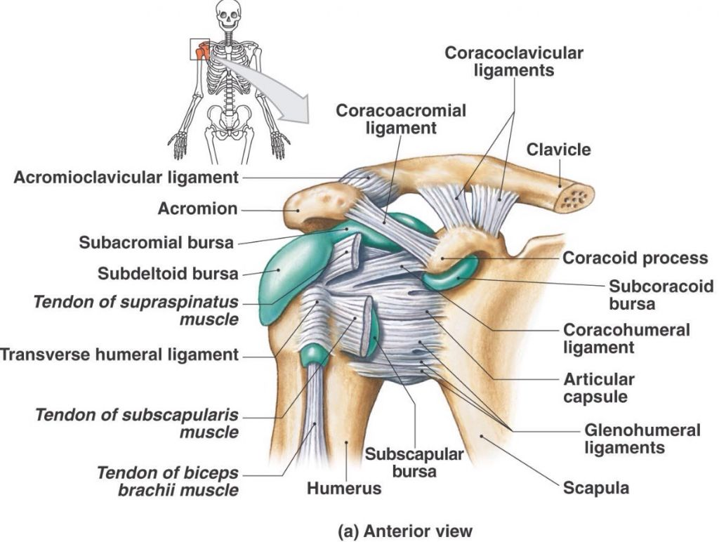Shoulder Bursae And Ligaments Anatomy References Pinterest