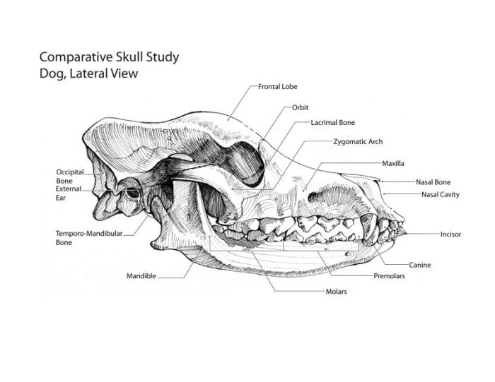 dog skull anatomy canine skull anatomy lateral view The incisor or ...