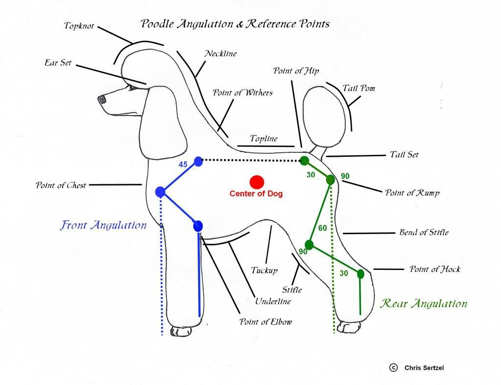 diagram for standard poodle face clipping google search m s [ 1024 x 786 Pixel ]
