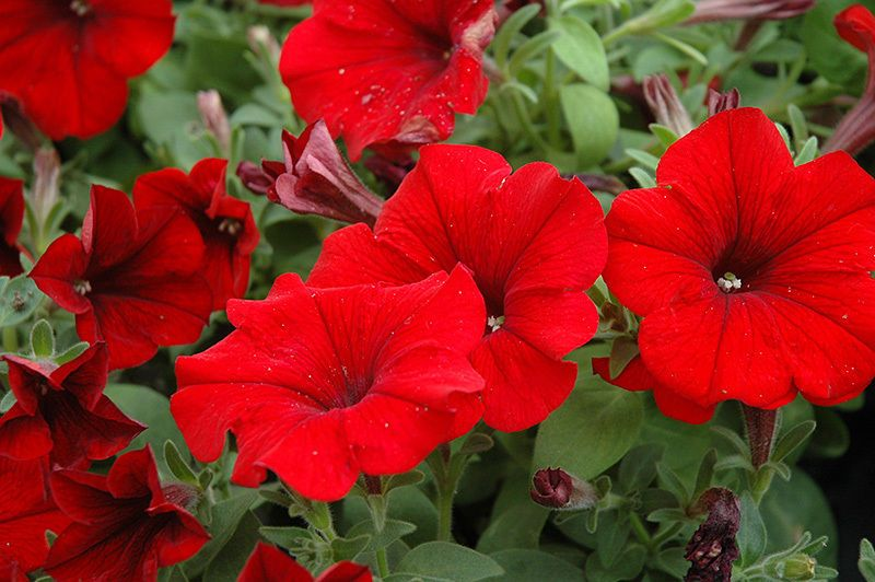 40 Petunia Sweetunia Hot Rod Red Live Plants Plugs Garden Patio Diy Planters 148 Flower Seeds Flower Seeds Online Flowers