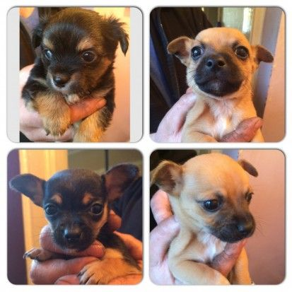 Chihuahua X Jack Russell Puppies Wednesbury West Midlands