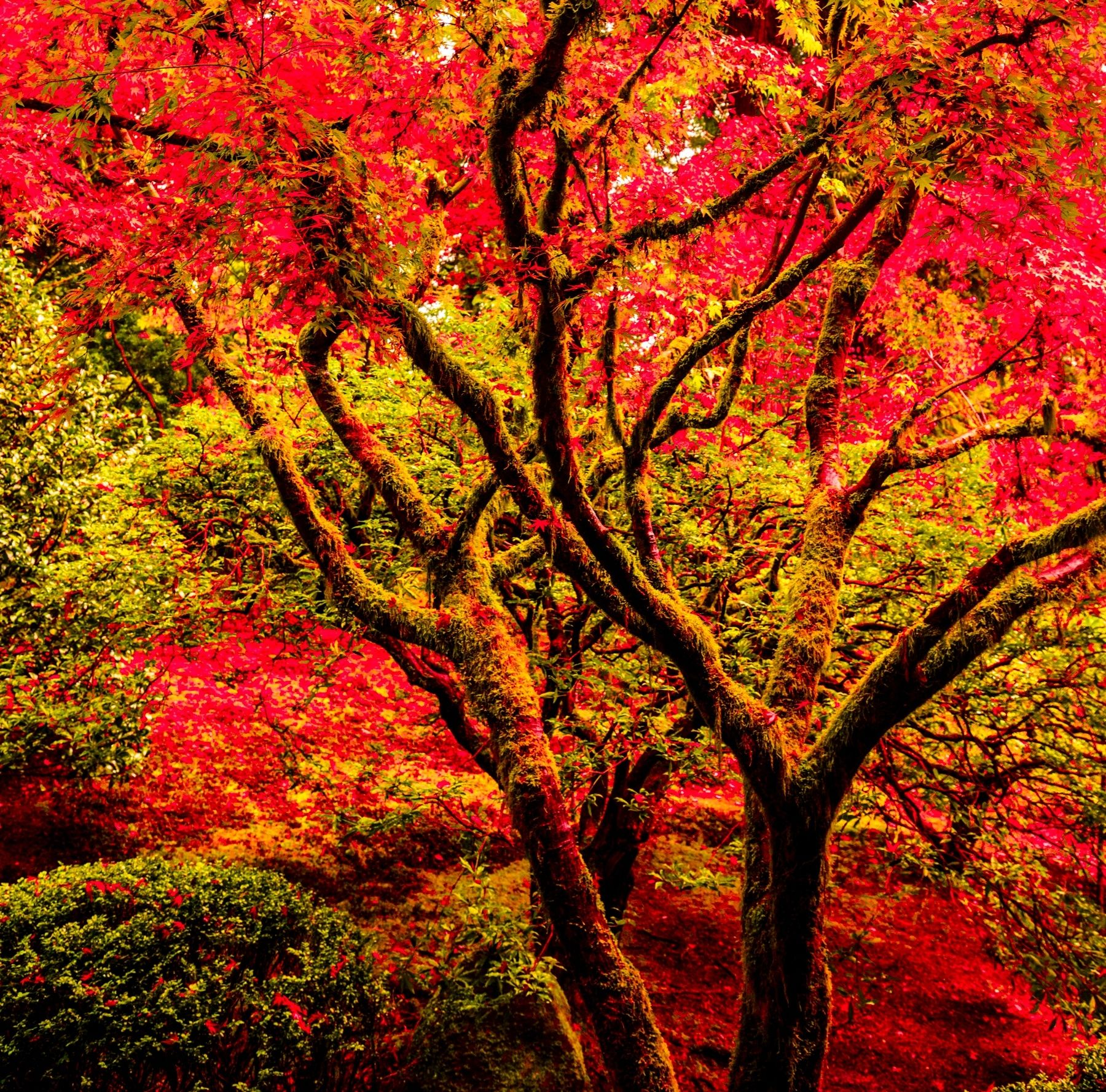 portland japanese garden red maple trees In the darkness