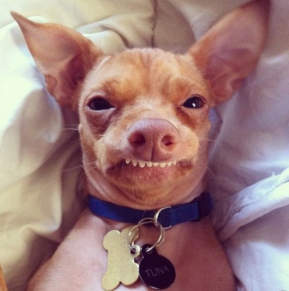 Meet Tuna The Chiweenie Instagram S Cutest Dog With An Overbite