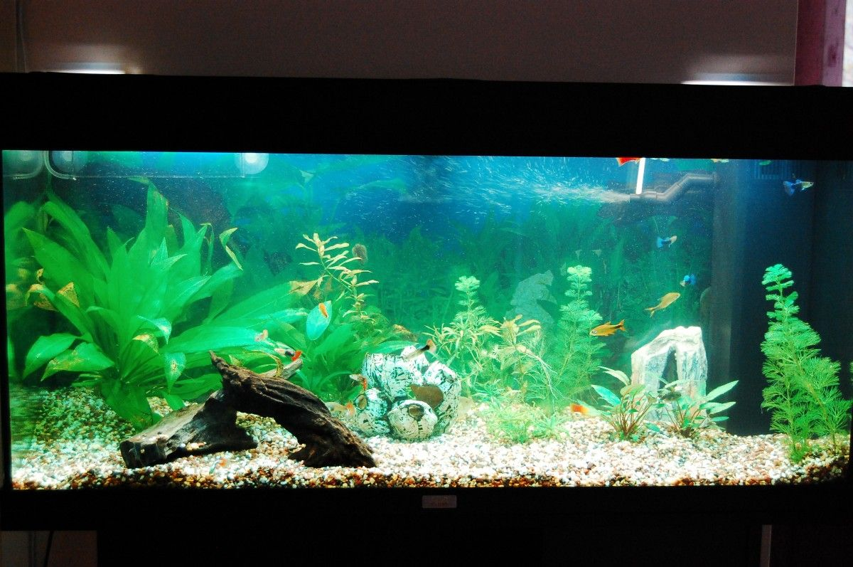 Freshwater aquarium fish information - Welcome To Aquarium Life A Complete Source Of Information On Aquariums Aquarium Fish And