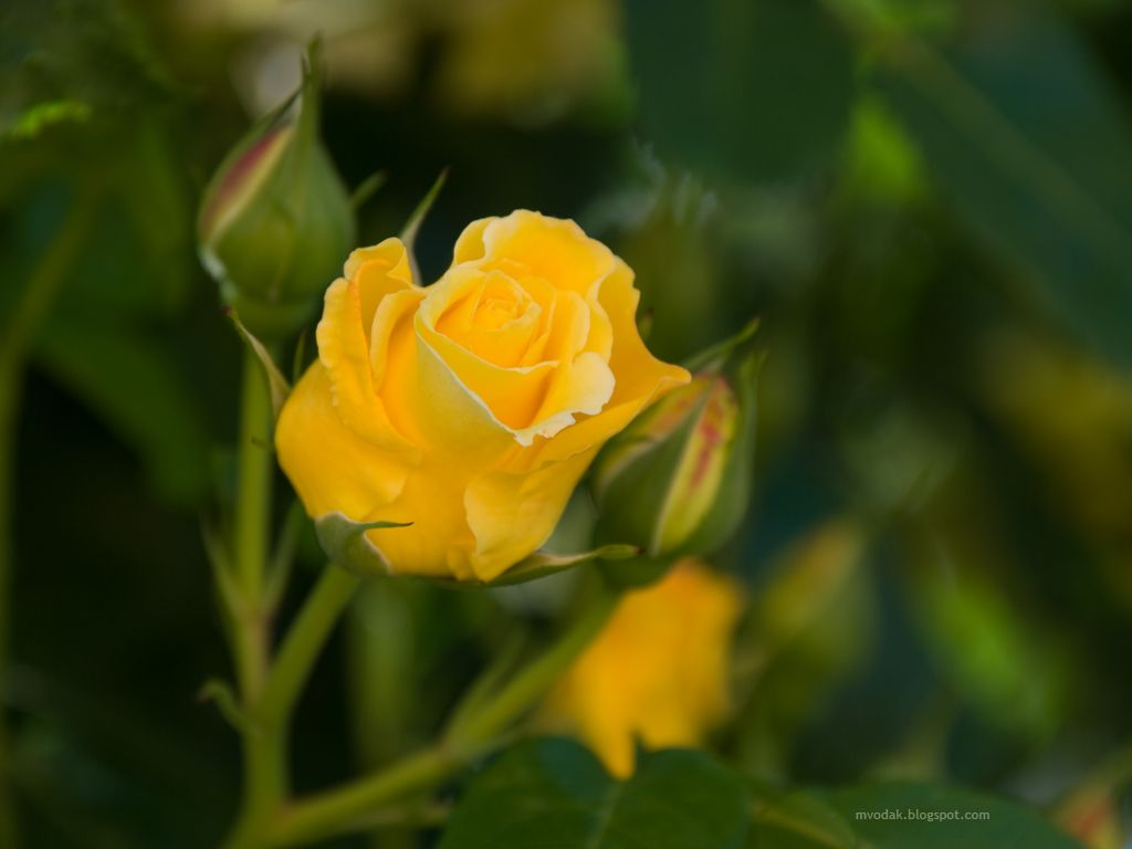 Roses Flowers Pictures Flowers Wallpapers Red Roses Places