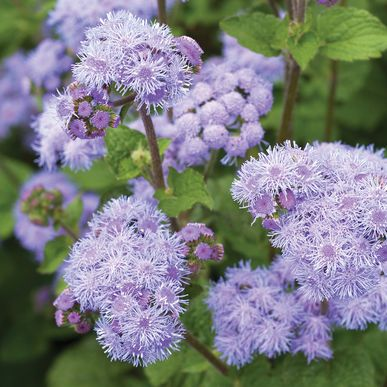 Tall Blue Planet Ageratum Planting Flowers Flower Seeds Planting Seeds