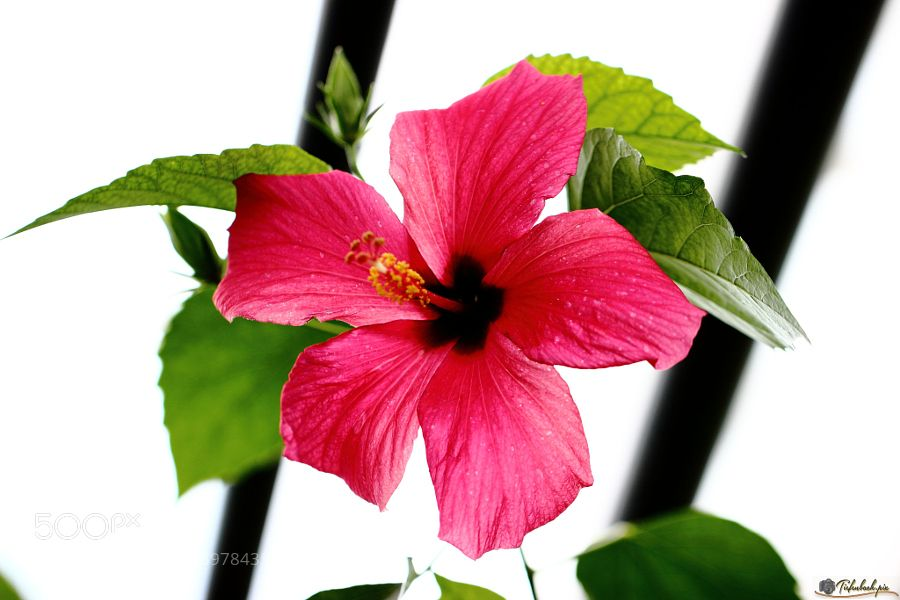 Hibiscus by Tiefenbachpix
