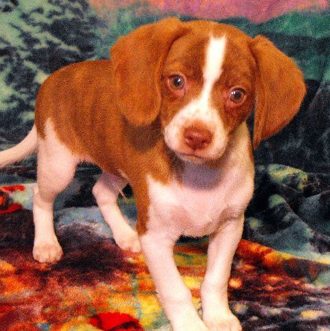 Queen Elizabeth Pocket Beagles All Available Puppies In One