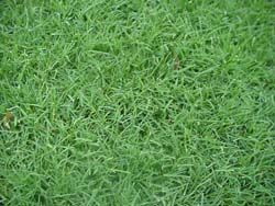 Cynodon Dactylon Bermuda Grass Can Be Used As Home