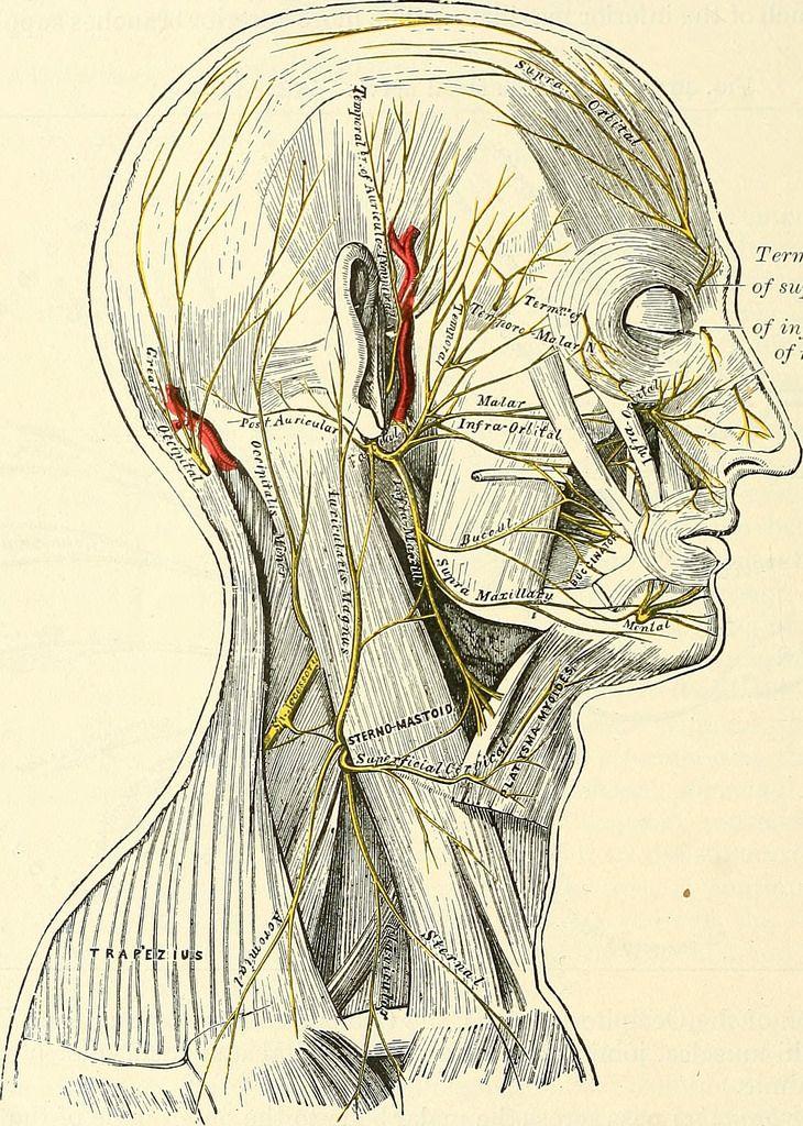 Identifier: anatomydescripti1897gray Title: Anatomy, descriptive and ...