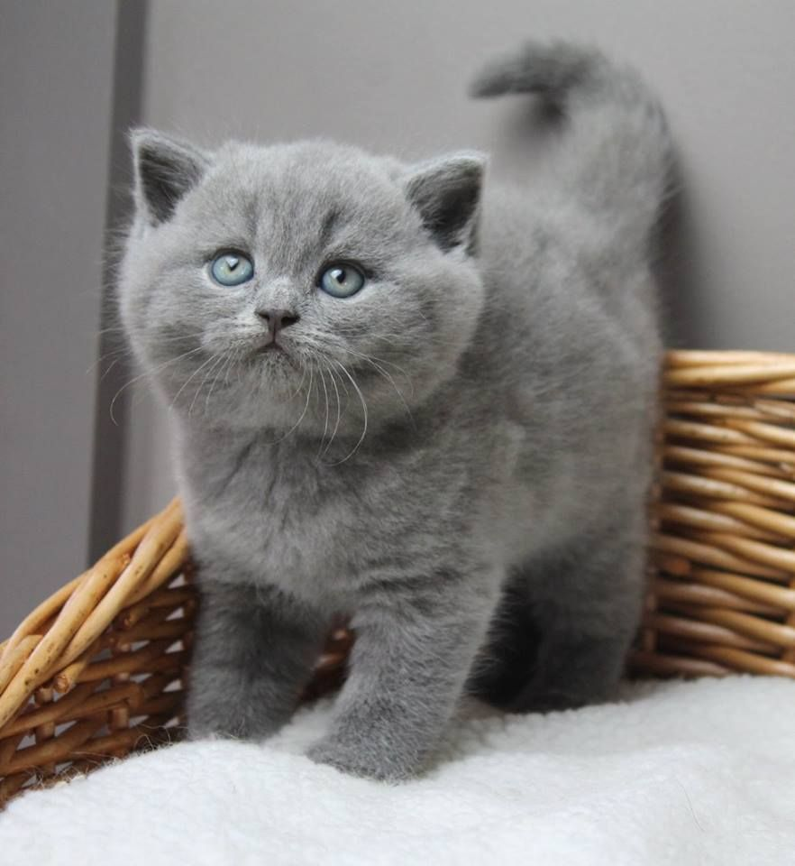 Cute gray kitten British shorthair cats Pinterest