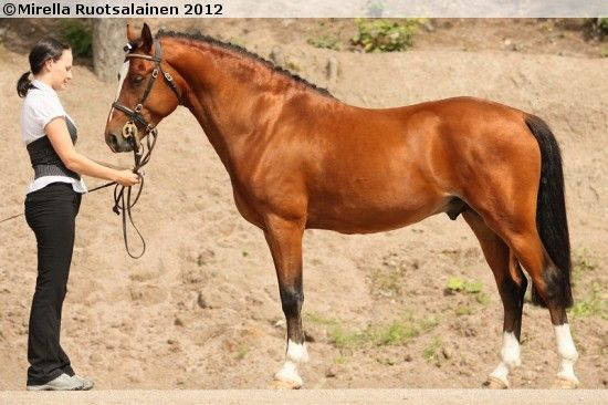 Welsh part-bred stallion Berghälls Lucky