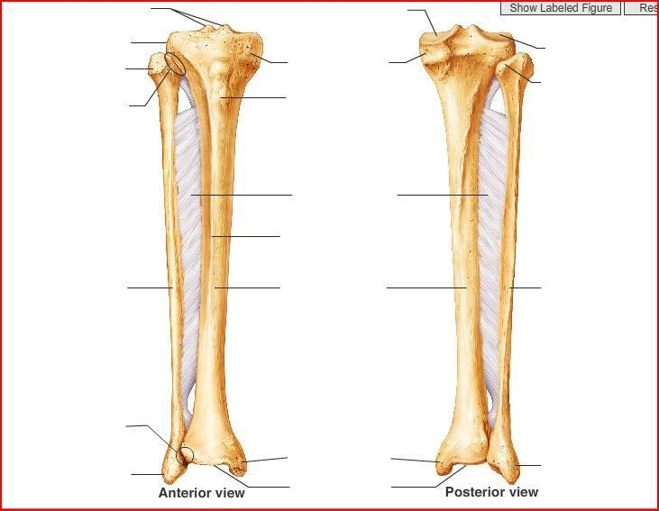 tibia and fibula blank diagram small boat wiring bone right anatomy pinterest bones
