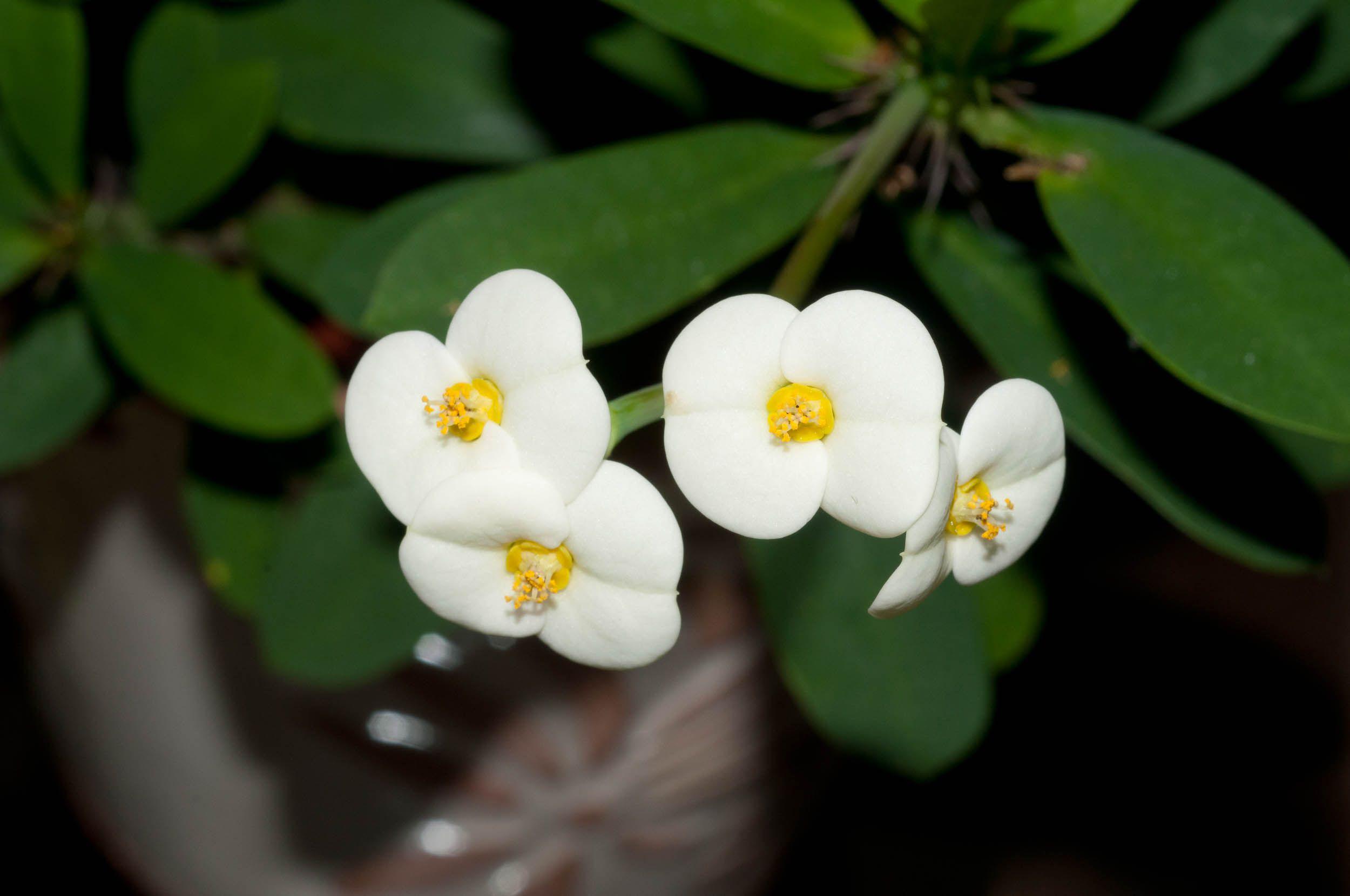 Euphorbiamiliilutea 1d43b09305g 25001660 White Flowers
