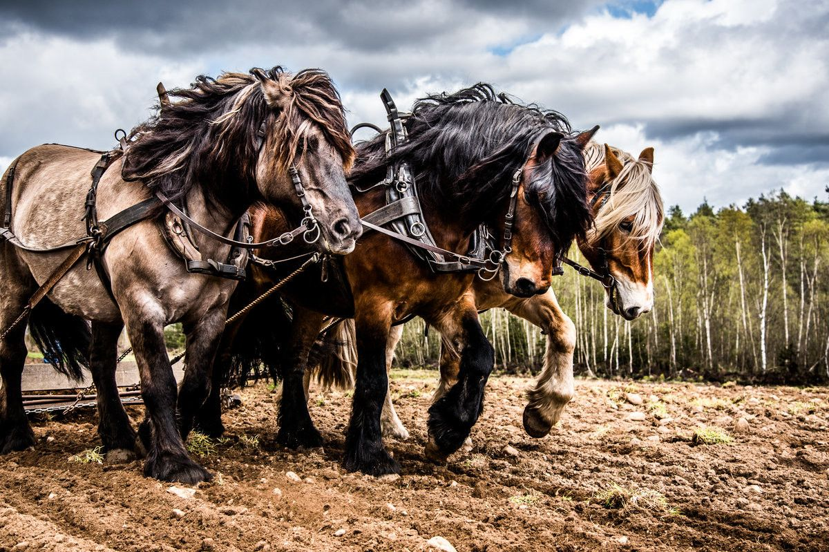Draft Horse vs Machines - Farming with draft horses isn't as easy as jumping into a tractor and turning a key, but those who do it say it's far more rewarding.