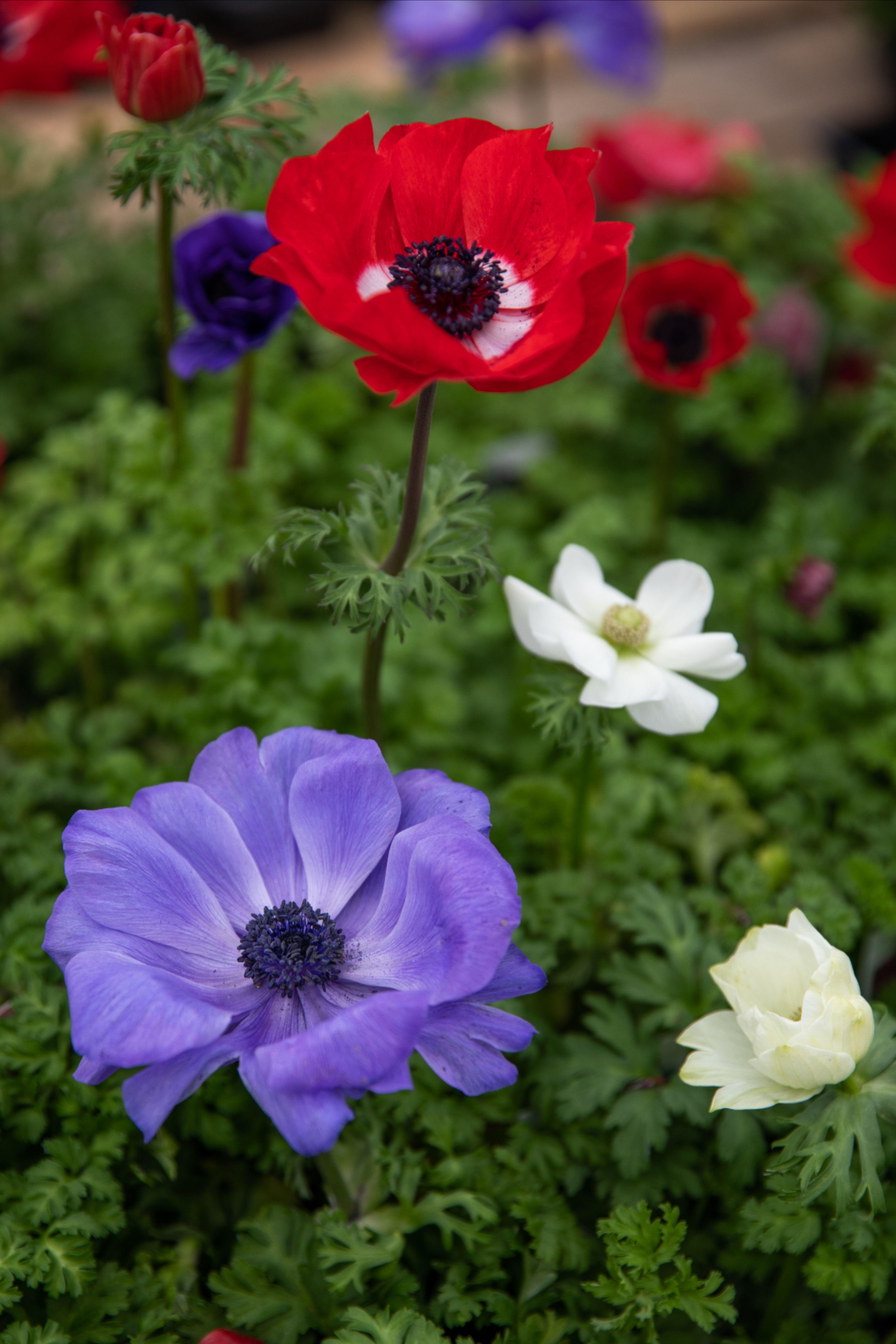 Poppy Flowered Anemone In 2020 Alyssum Plants Beautiful Gardens