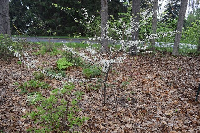 Cercis canadensis 'Alba' in garden of Don and Mary Lafond, Michigan, May 2016.