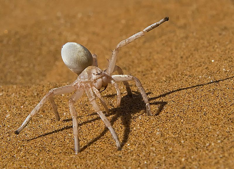 A Dancing White Lady Spider In The Namib Desert In South Africa ...