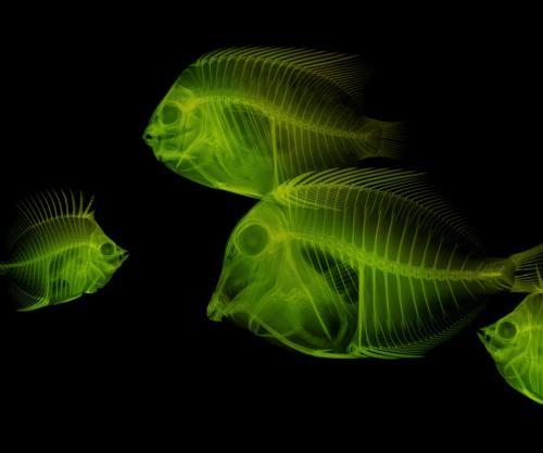 Green Fish Xray Htc Wallpaper Fish Wallpaper Wallpaper