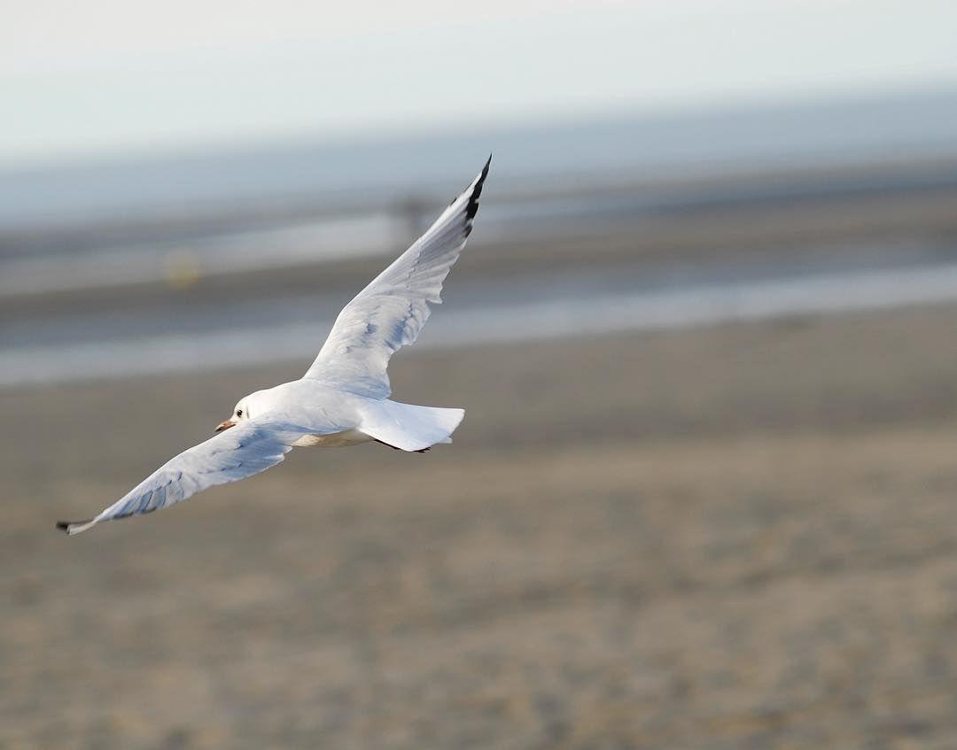 Mwète #seagull #sea #beach #sea #sand #normandy #normandie #france #europe #nature #animal #animals #gulls #gull #flying #sky #photography #photojournalism http://tipsrazzi.com/ipost/1509005944888834075/?code=BTxEOltDTgb