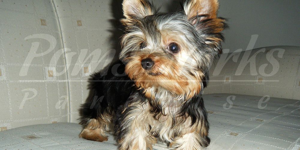 Perritos Yorkshire Terrier