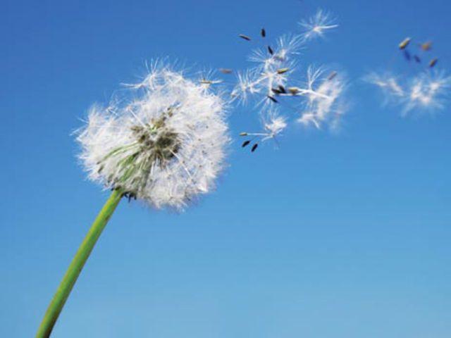 What Element Are You What Element Are You Dandelion Flower Dandelion Wallpaper