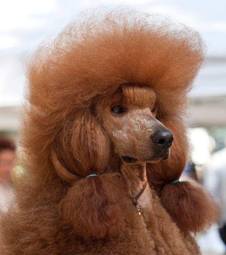 Red Standard Poodle I Need A Dog That Matches My Hair Standard