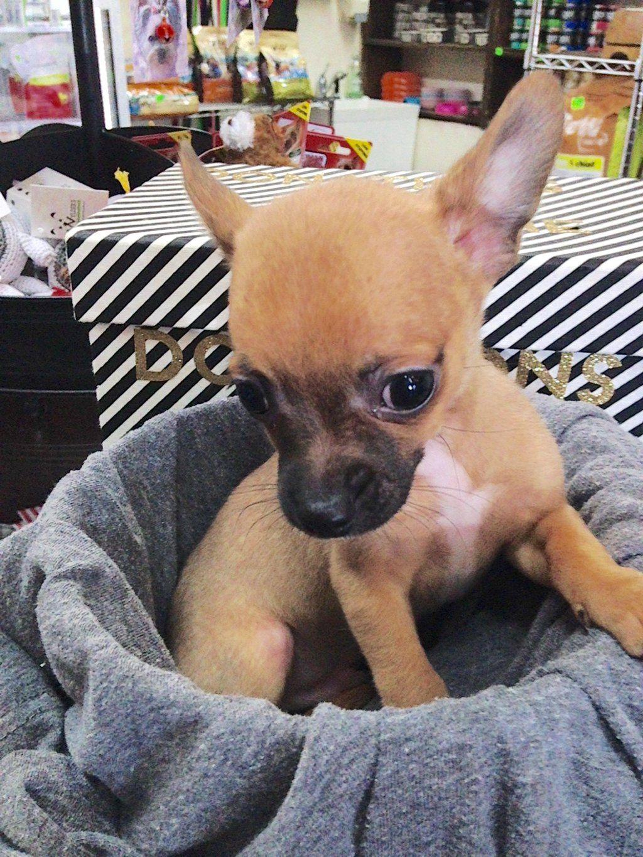 Craigslist Los Angeles Pets Chihuahua
