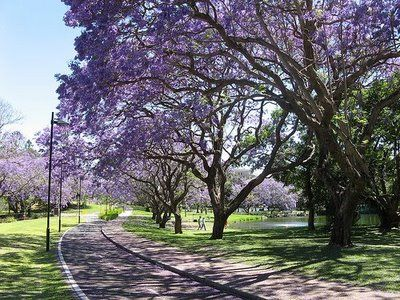 Things For Our Yard Possibly A Jacaranda Tree Pretties For The Home