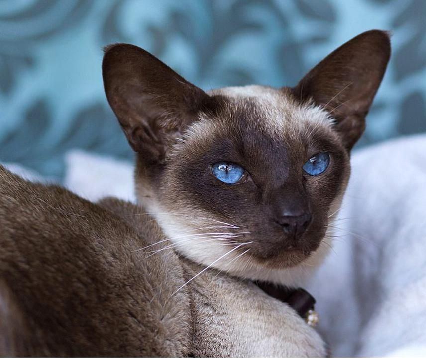 Pin On My Beautiful Collections In 2020 Siamese Cats My Animal Cats