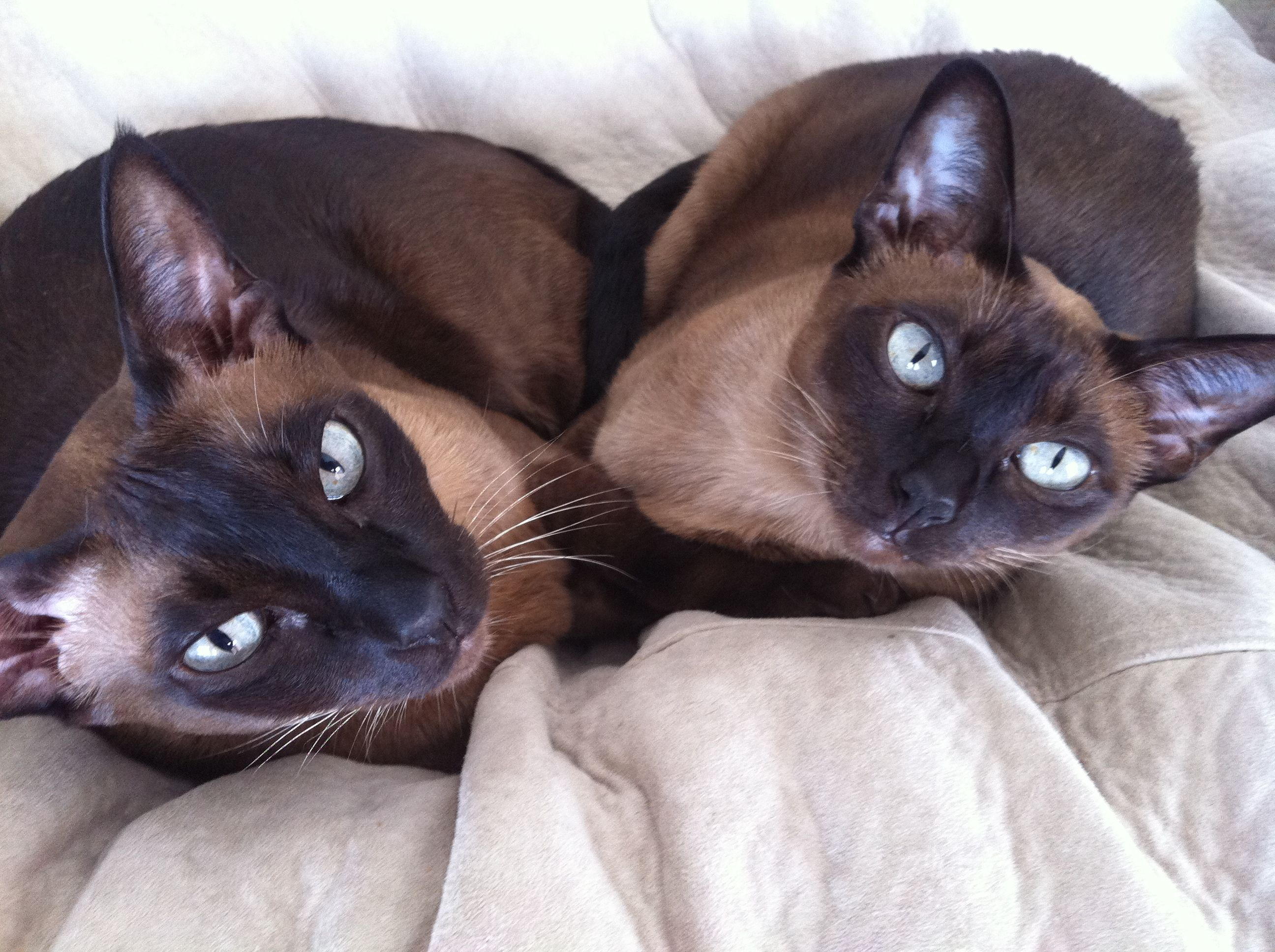 Tonkinese Cats as Pets Tonkinese cat