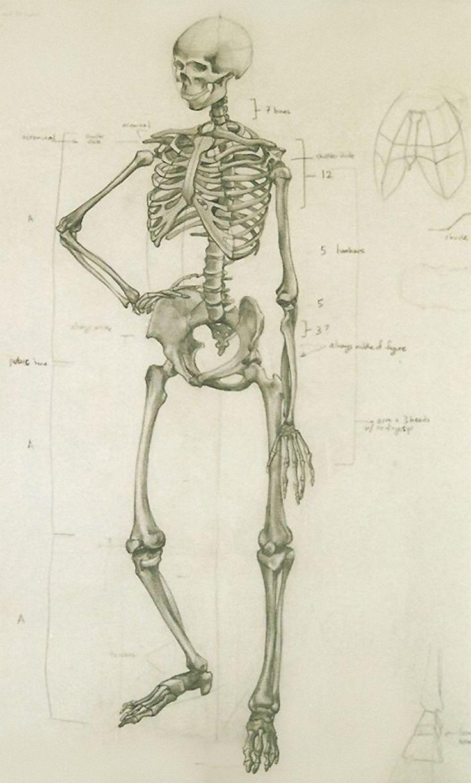 Анатомические картинки скелета