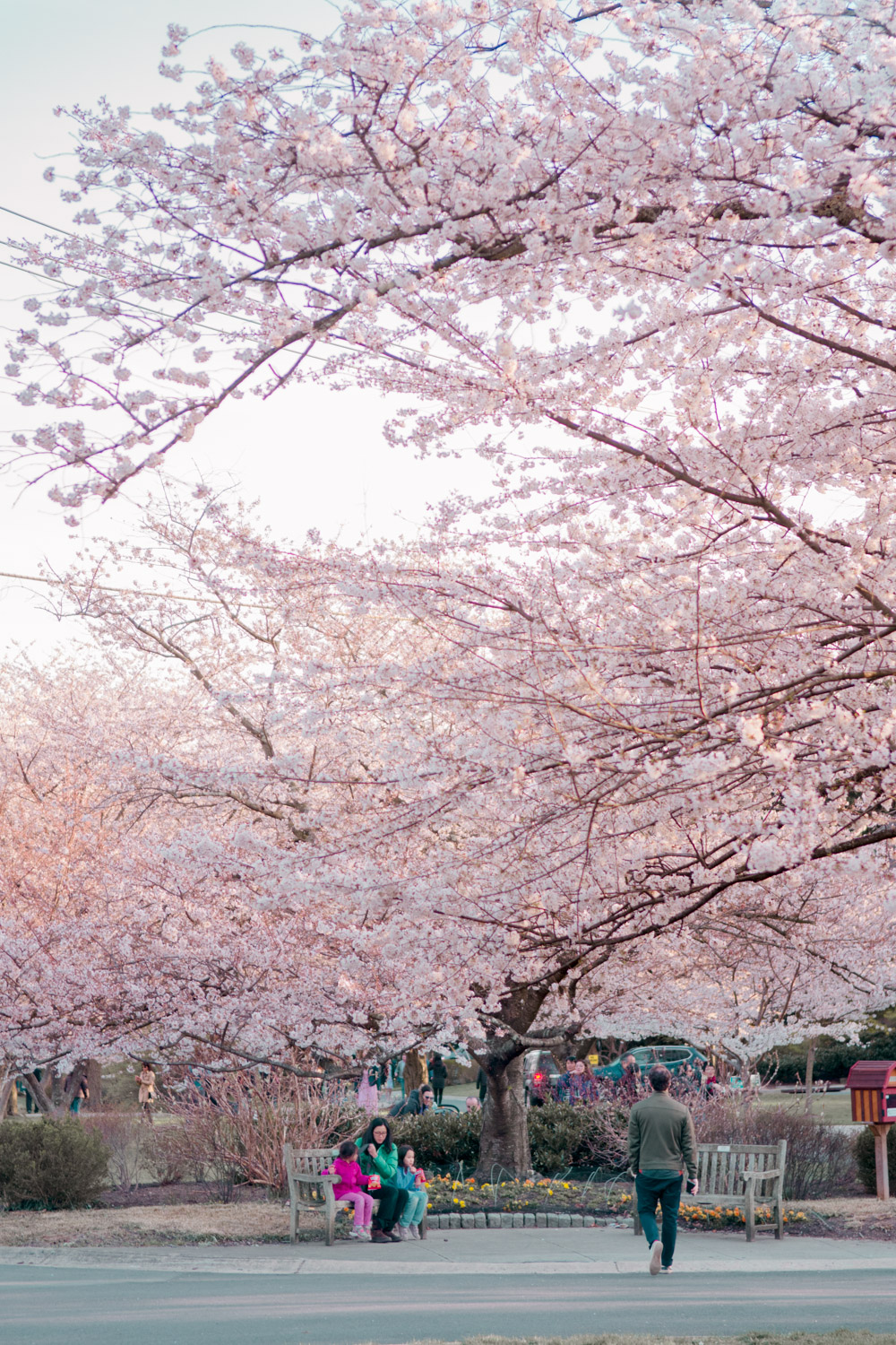 5 Secret Places To See Cherry Blossoms In Washington Dc Like A Local Places To See Secret Places Cherry Blossom Washington Dc