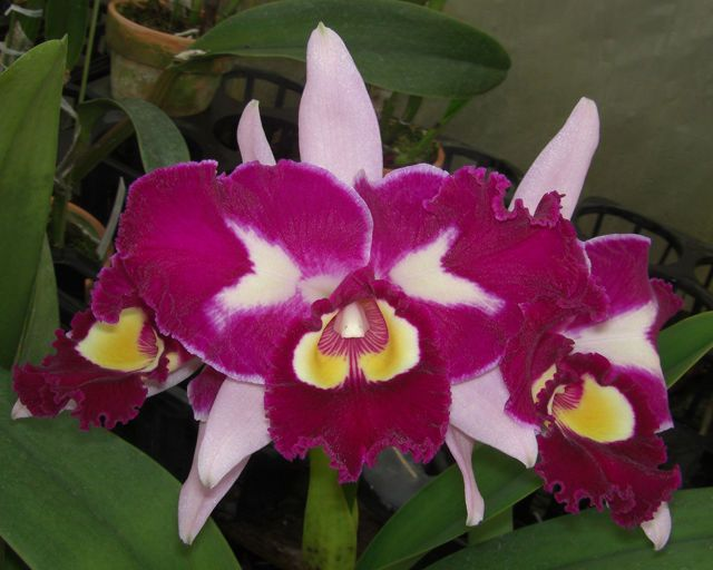 Bin Blc Chinese Beauty Orchid Queen Am Aos Attractive Nice Cattleya Orchid Orchids Chinese Beauty Cattleya Orchid