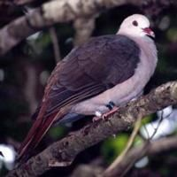 MAURITIUS PINK PIGEON (Nesoenas mayeri) - found only on the small Mascarene island of Mauritius in the western Indian Ocean. They feed almost exclusively on native plants in the wild, eating a wide range of parts that include buds, young shoots, leaves, flowers, fruits and seeds, depending on the season. roost and feed in small flocks, except during the breeding season when they form monogamous pairs and defend a small territory.