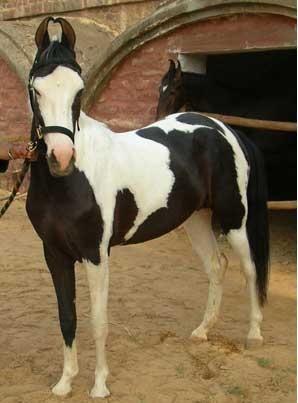 Marwari (aka Kathiawari. Most distinguishing feature are the inward-curving ears)