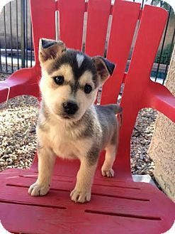 Chandler Az Husky Rottweiler Mix Meet Bruce A Puppy For