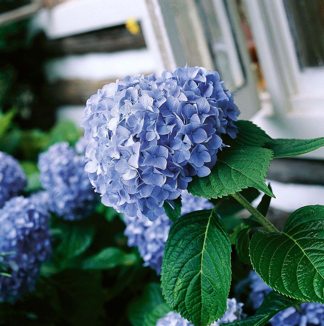 What To Prune When In Your Garden For The Healthiest Plants Planting Hydrangeas Types Of Hydrangeas Pruning Fruit Trees