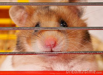 Little hamster sitting inside a Cage  Close-up of a cut