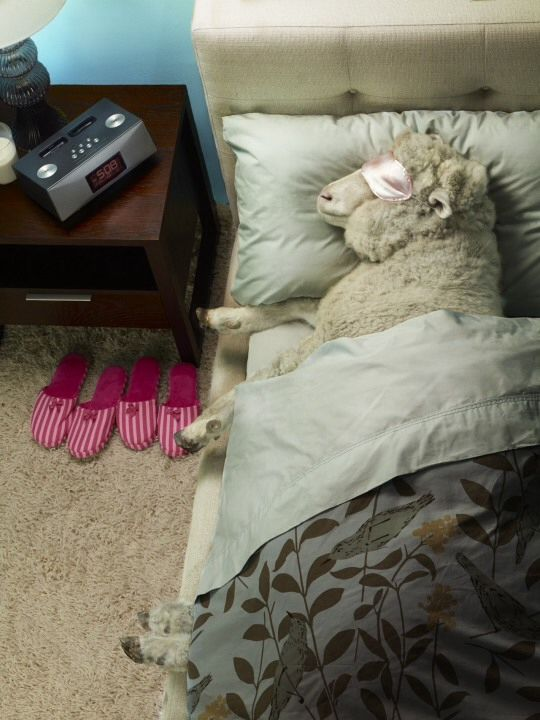 Warm & Cozy...lol cute (With images) Sheep, Sheep and