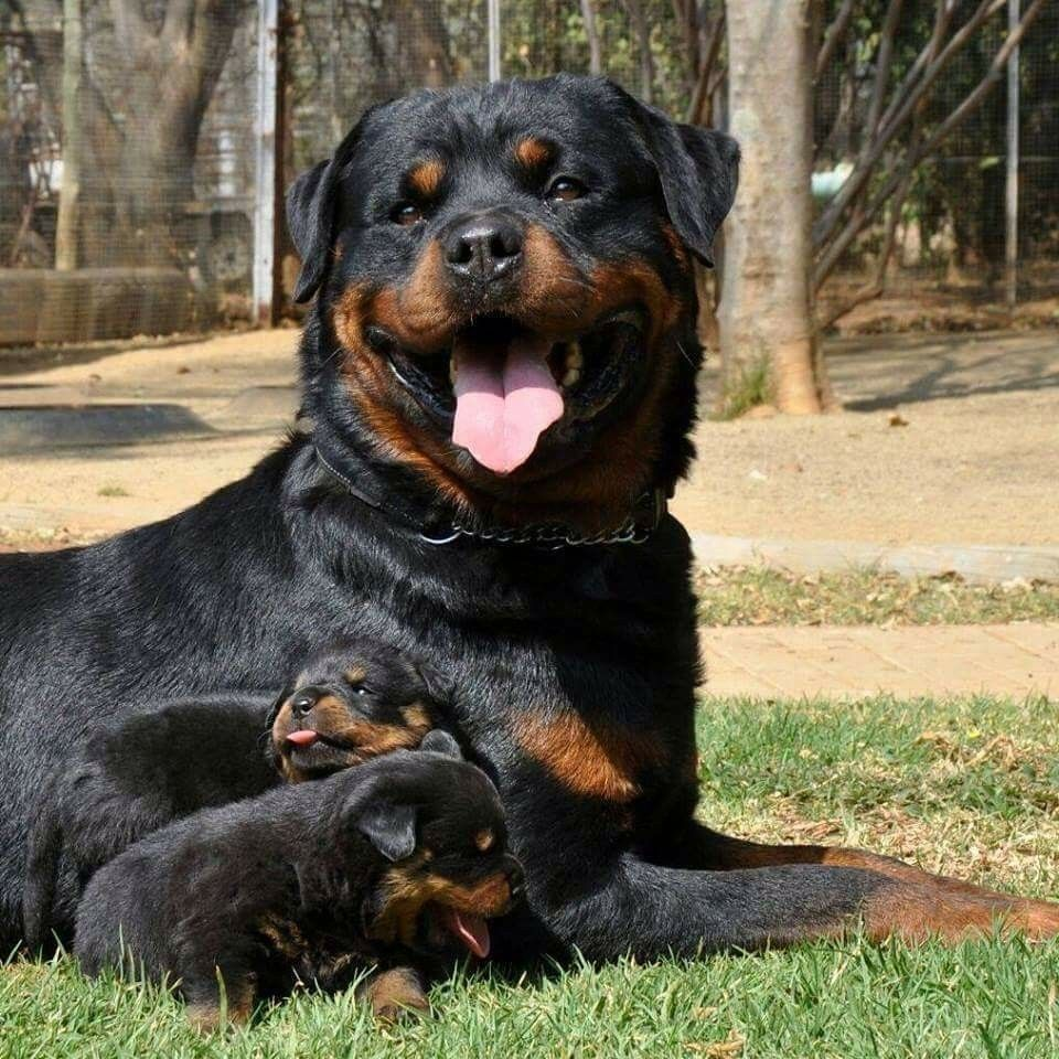 Pin By Mindy Zimmerman On Rotties Rottweiler Rottweiler