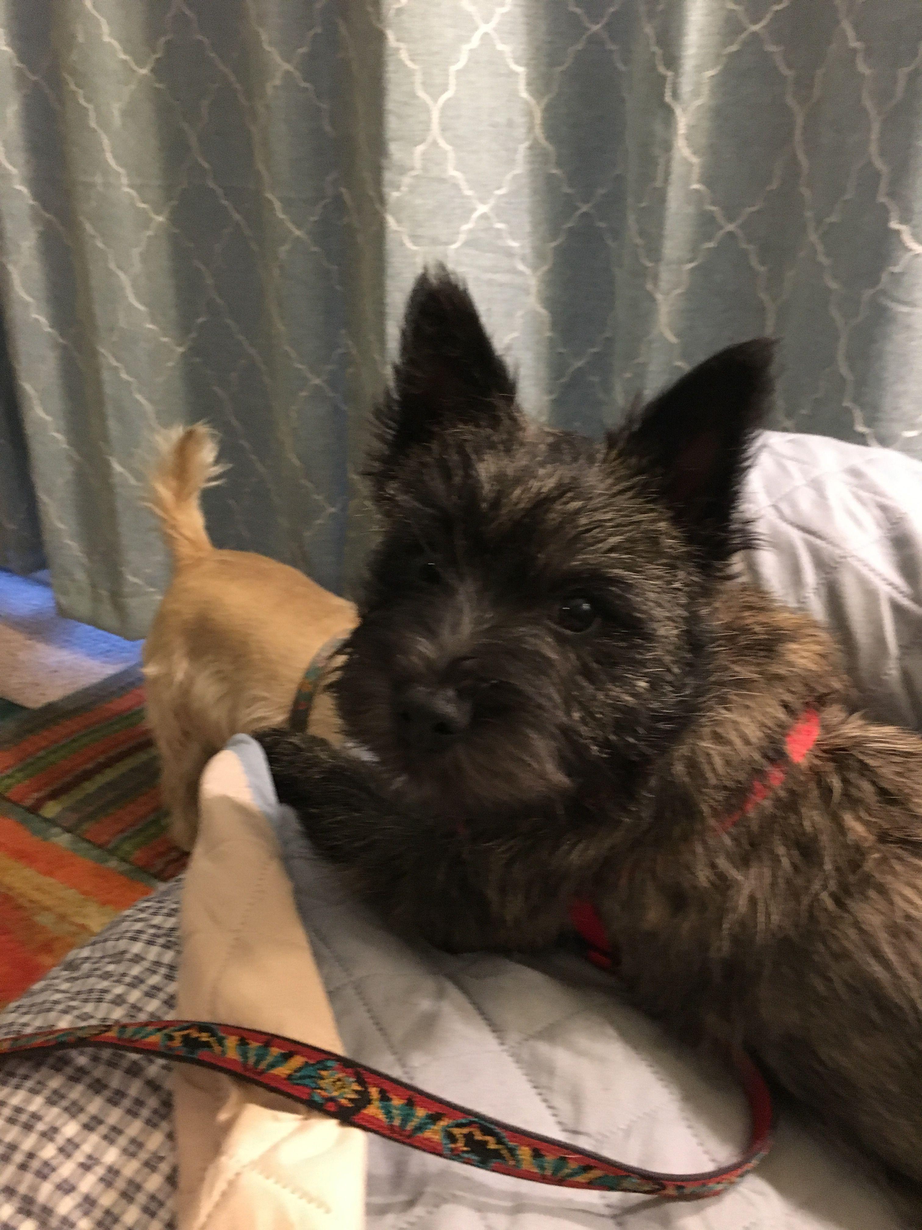 Sir Duncan At Four Months Cairn Terrier Scottie Dog Scottish