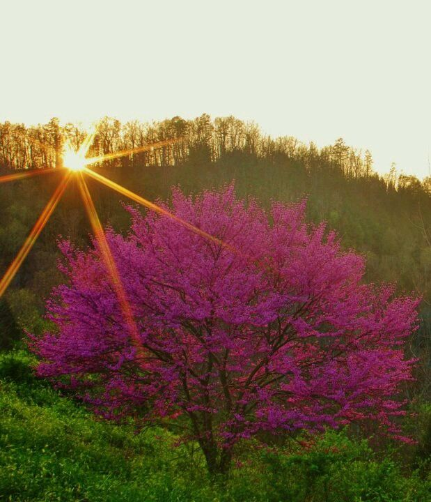 Kentucky Red Bud In Spring Photo By Allen Bolling Kentucky Louisville Kentucky Beautiful Locations