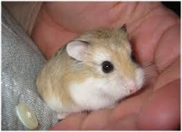 Image Result For Cute Baby Hamsters For Sale Dwarf Hamster