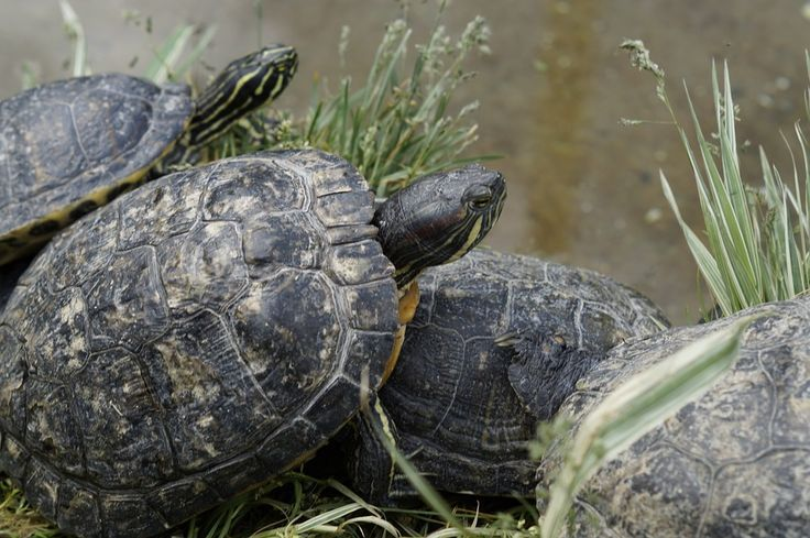 Fantastic Pictures water turtles pet Thoughts Kids employ a natural fascination  Fantastic Pictures water turtles pet Thoughts Kids employ a natural fascination